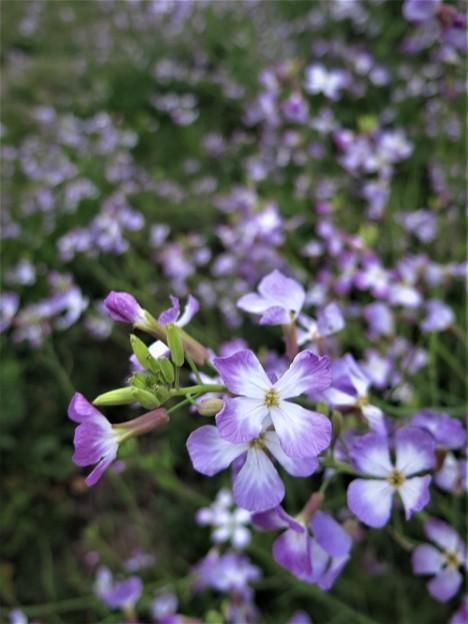 河川敷に咲く花