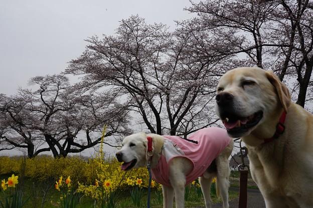 桜 二分咲き