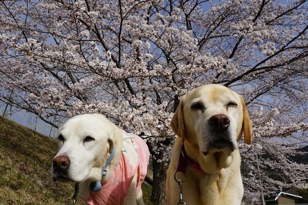 桜とわんこ