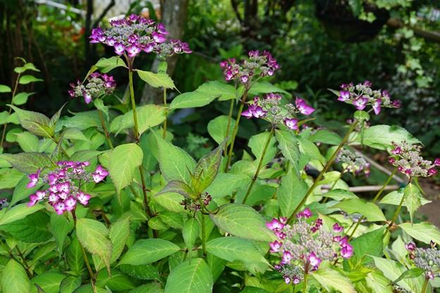 山紫陽花 リモ