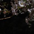 Photos: 夜桜 #2