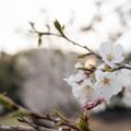 Photos: 桜 #1
