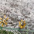 Photos: 桜 #3