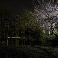 Photos: 夜桜 #3