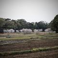 Photos: 桜 #6