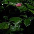 Photos: 赤い葉