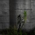 塀際の雑草