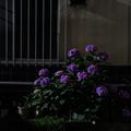 Photos: 窓際の紫陽花