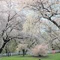目に留まった壮大な桜