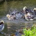 Photos: 210913コムクドリ水浴び