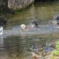 Photos: 210913コムクドリ水浴び2
