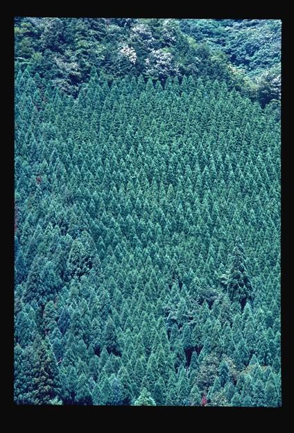 森林(杉林)
