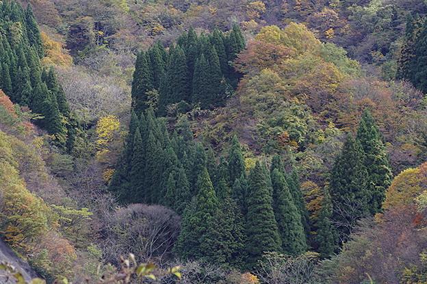 Photos: 杉木