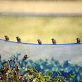 五羽のスズメ
