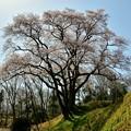 Photos: 氏邦桜2