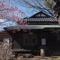Photos: 古民家/河津桜