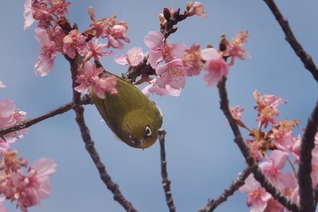 メジロ/河津桜