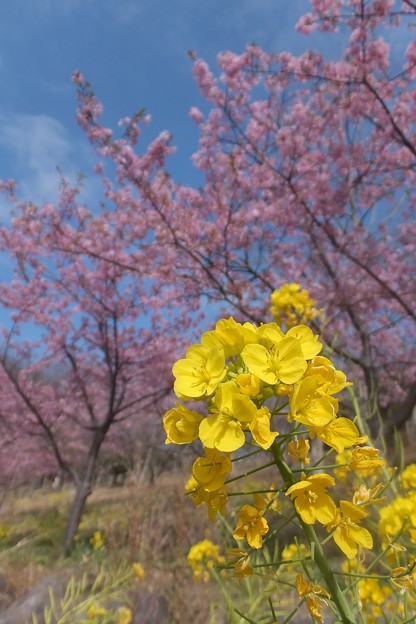 菜の花/河津桜