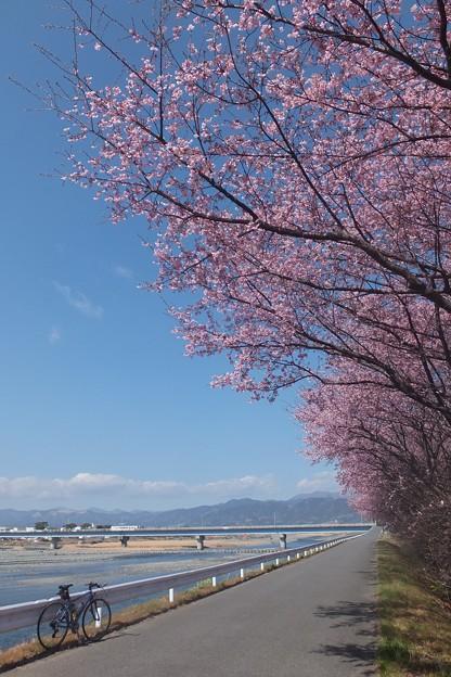 河津桜/富士見橋