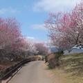 Photos: 池ノ窪梅林