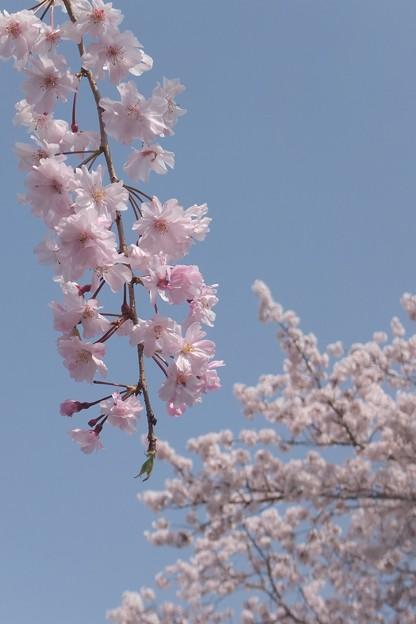 枝垂桜/染井吉野