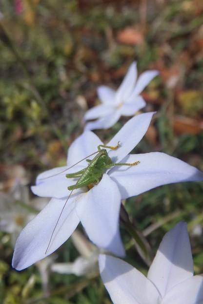 ヤブキリ幼虫/ハナニラ