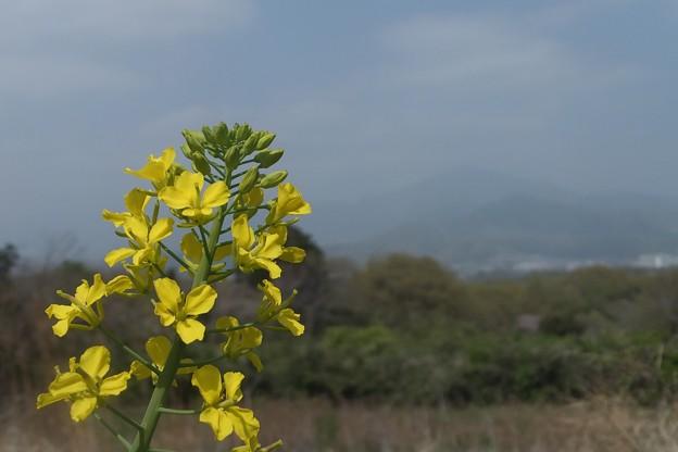菜の花/霞む大山