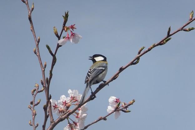 シジュウカラ/桜