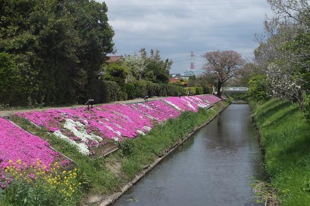 芝桜/渋田川