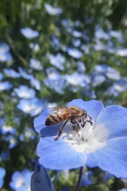 セイヨウミツバチ♀/ネモフィラ・メンジェシー