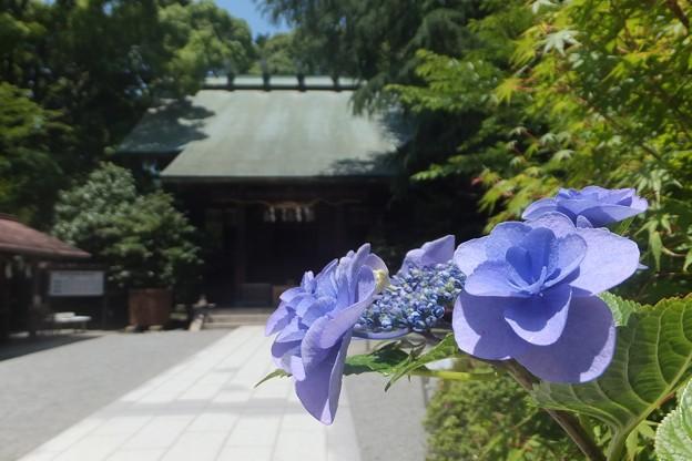 額紫陽花/社殿