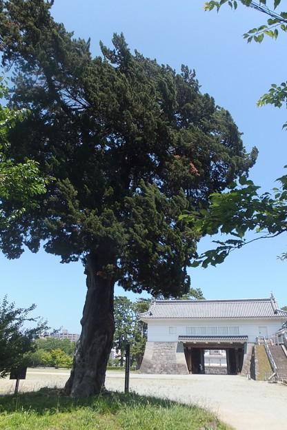 ビャクシン/小田原城銅門(渡櫓門内側)