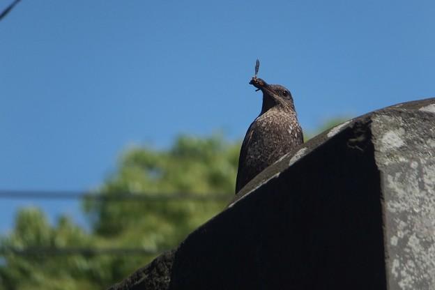 イソヒヨドリ♀
