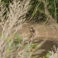 Photos: カワセミ幼鳥♂