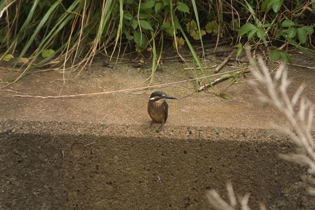 カワセミ幼鳥♂