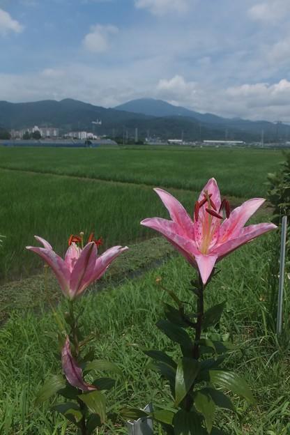 ユリ/大山