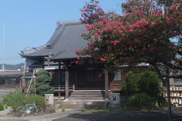 サルスベリ/本興寺本堂
