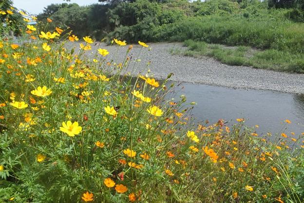 キバナコスモス/金目川