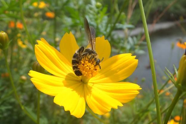 ヒメハラナガツチバチ♀/キバナコスモス