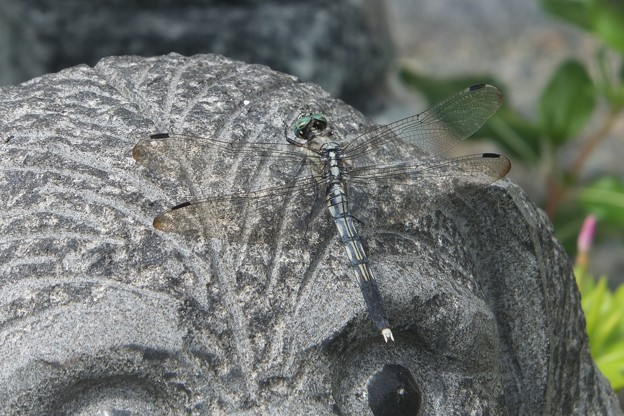 シオカラトンボ♀