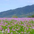 Photos: レンゲ畑