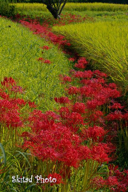 畦道の赤花