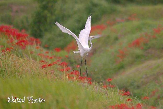 秋丘の白鷺