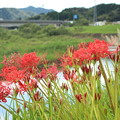 Photos: 川沿いの彼岸花2