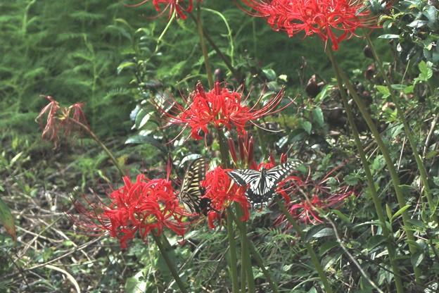 彼岸花とアゲハチョウ1