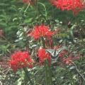 Photos: 彼岸花とアゲハチョウ1