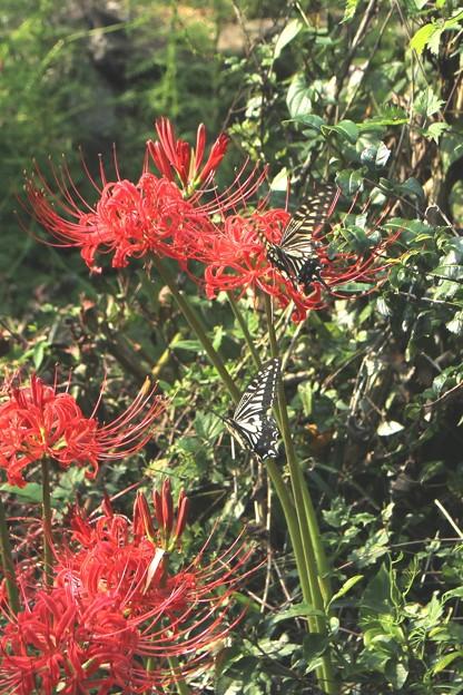 彼岸花とアゲハチョウ2