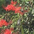 Photos: 彼岸花とアゲハチョウ2
