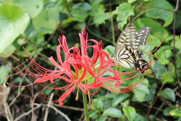 彼岸花とアゲハチョウ3
