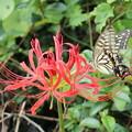 Photos: 彼岸花とアゲハチョウ3